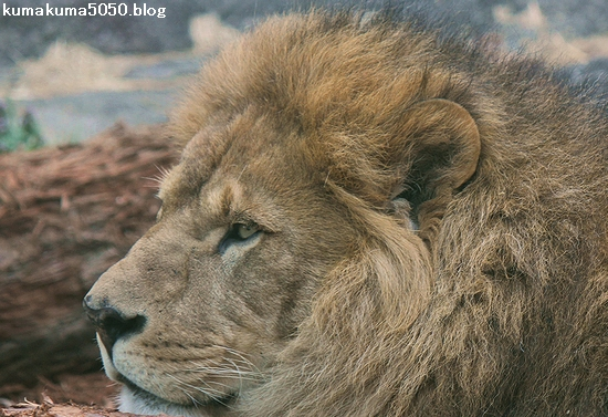 ライオン_562