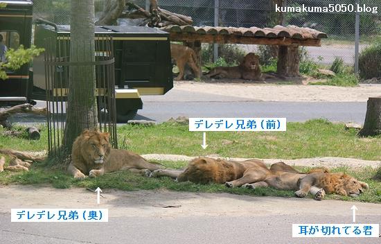 ライオン_570