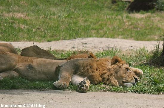 ライオン_569