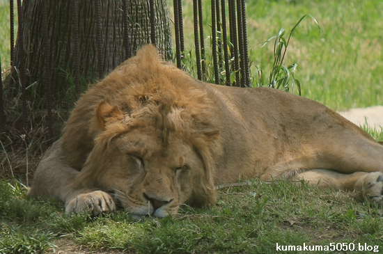 ライオン_567