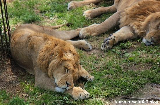 ライオン_573