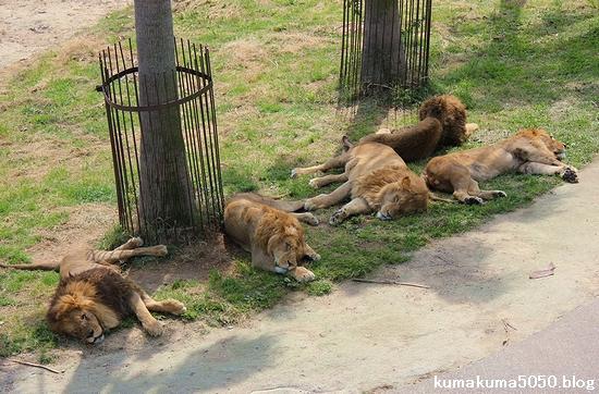 ライオン_571