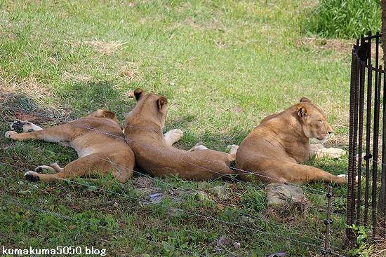 ライオン_584