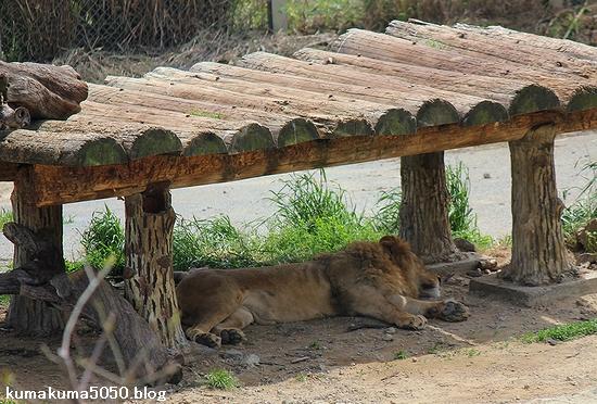 ライオン_583