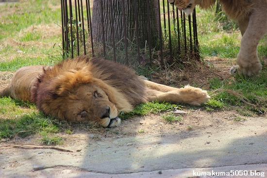 ライオン_594