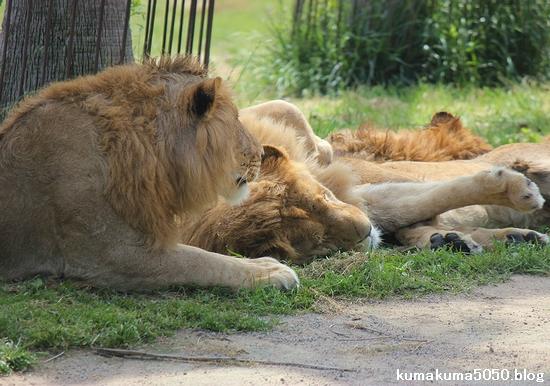 ライオン_592