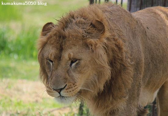 ライオン_589
