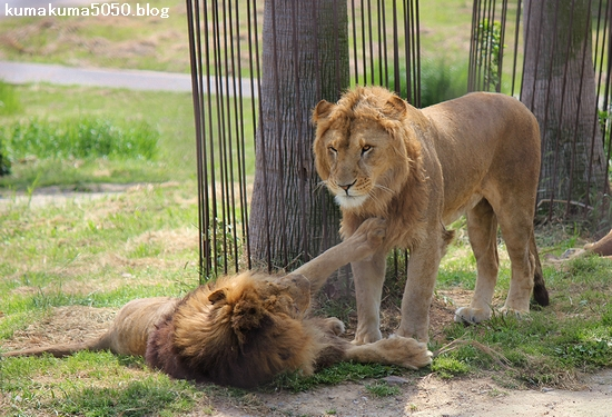 ライオン_599