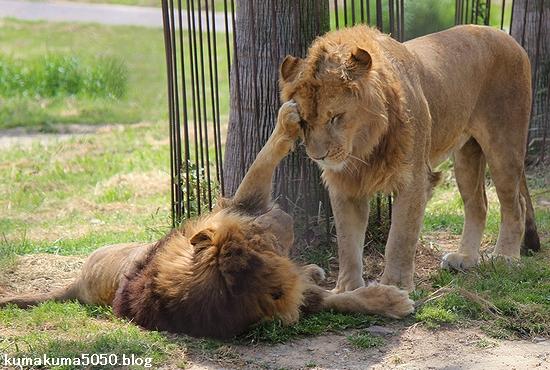 ライオン_597