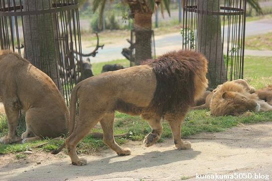 ライオン_607