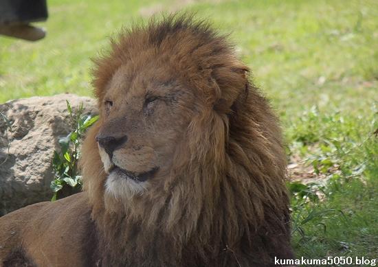 ライオン_609