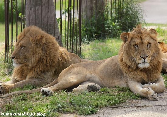 ライオン_619