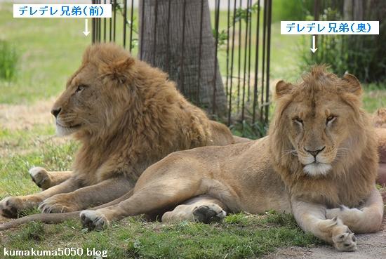 ライオン_617