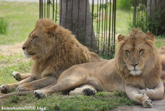 ライオン_616