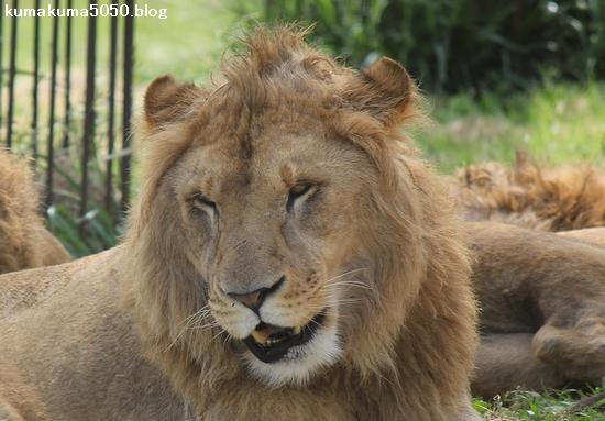 ライオン_615