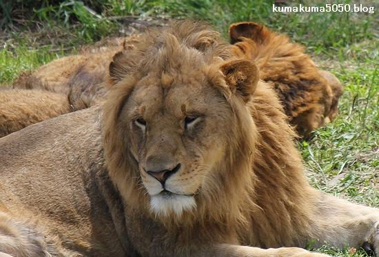 ライオン_623
