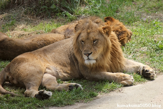 ライオン_622
