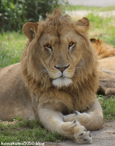ライオン_620