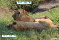 ライオン_627
