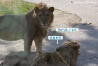 ライオン_628