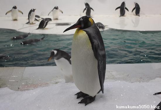 キングペンギン_21