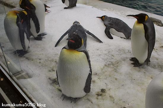 キングペンギン_19