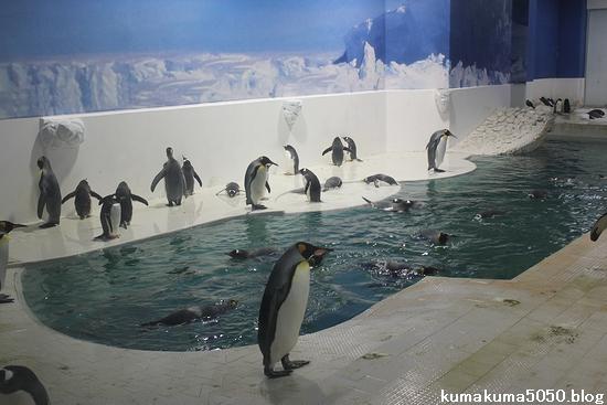 キングペンギン_18