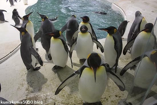 キングペンギン_23