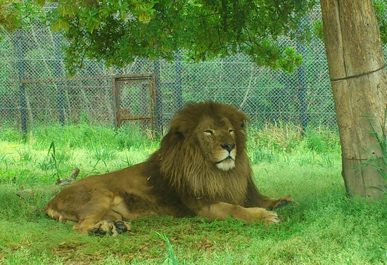 ライオン_632