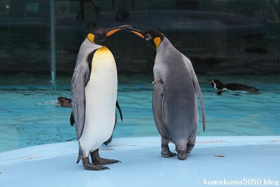 キングペンギン_26
