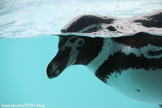 フンボルトペンギン_63