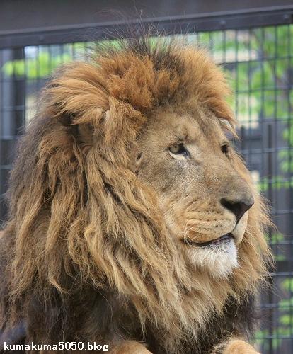 ライオン_663