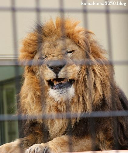 ライオン_658