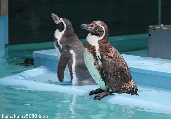 フンボルトペンギン_66