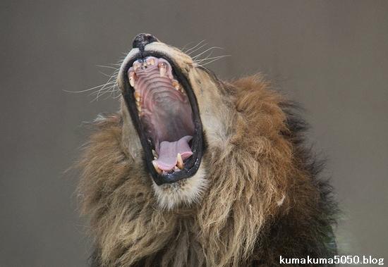 ライオン_682