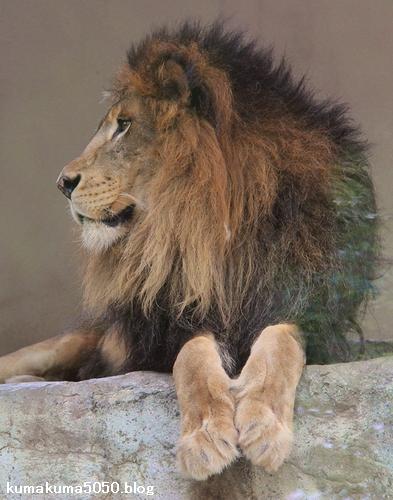 ライオン_678