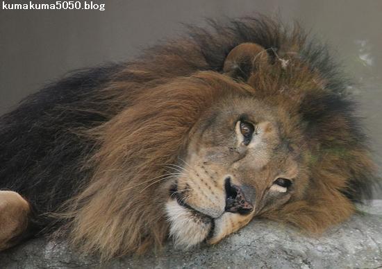ライオン_688