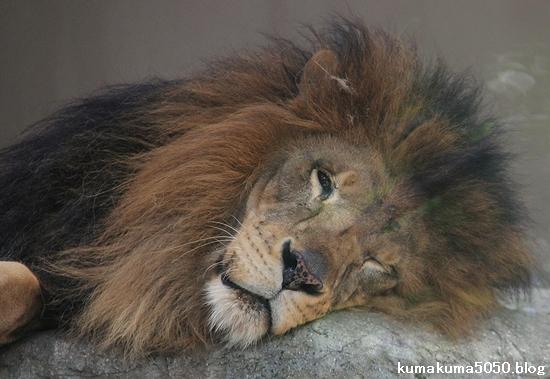 ライオン_686