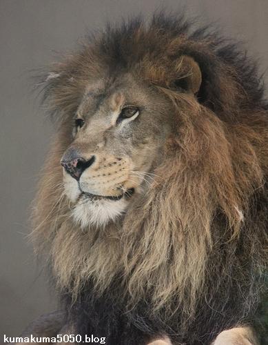 ライオン_684