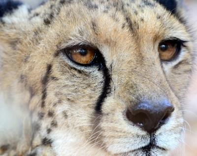 Cheetah_1.jpg