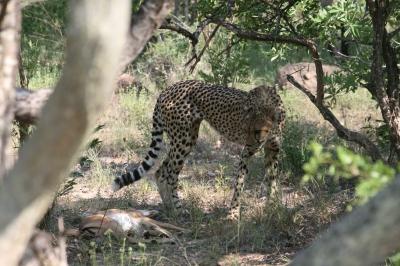 Cheetah_2.jpg