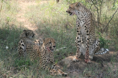 Cheetah_3.jpg