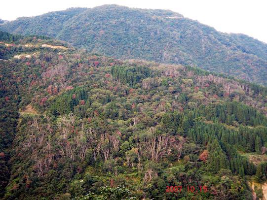2007白山麓ナラ枯れ