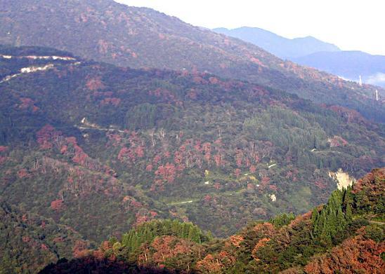 2005白山麓ナラ枯れ