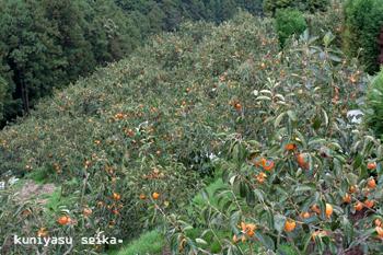富士柿 (10月28日 撮影)