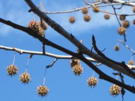 青空にぶら下がる木の実