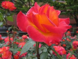 久留米でi咲いていたバラ