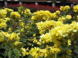 黄色いバラ、奥は赤いバラ