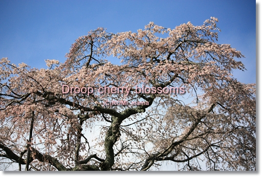droop cherry blossoms2
