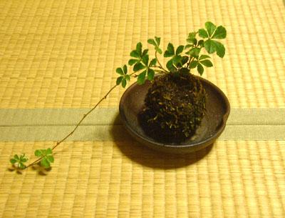 苔玉シュガーバイン04